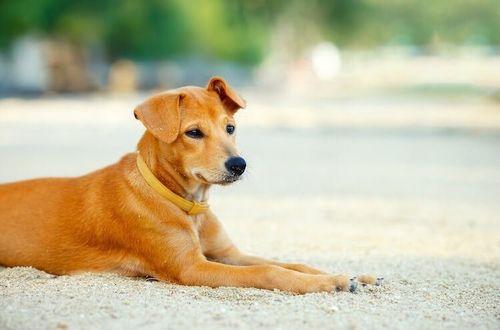 Gambar anjing Goldador