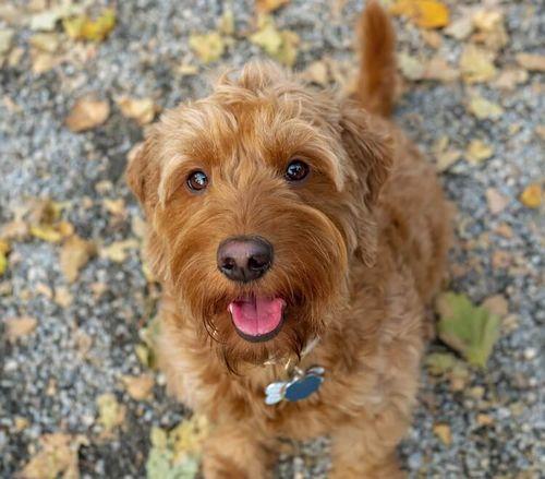 Gambar anjing Goldendoodle