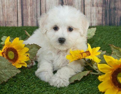 Gambar anjing Maltipoo