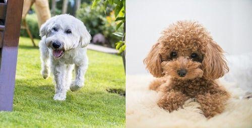 Gambar anjing Whoodle