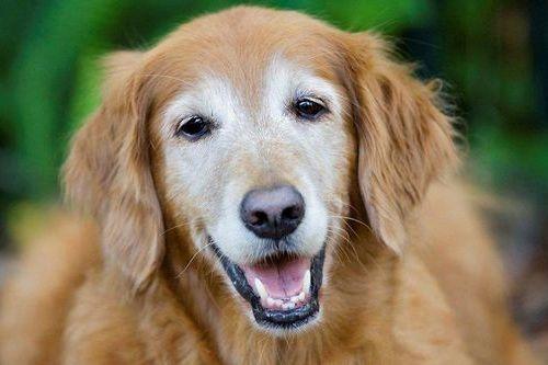 Gambar anjing tua