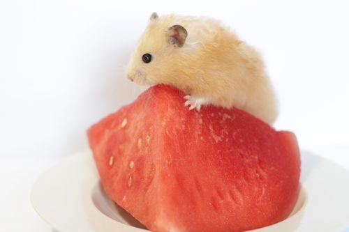 Hamster makan semangka