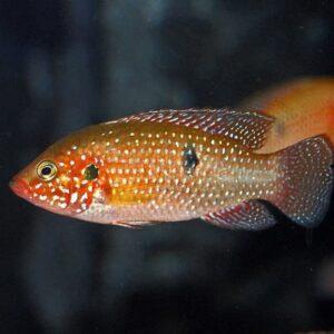 Ikan predator Jewel Chicild