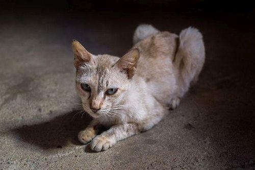 Kucing Tua