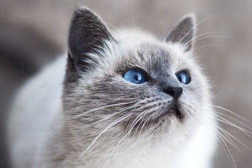 Kucing Tuli