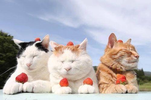 Kucing stroberi