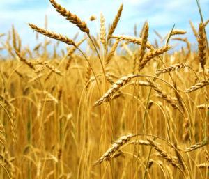 budidaya tanaman gandum