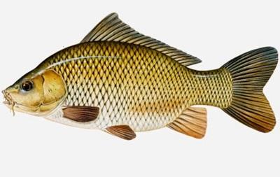 Umpan Jitu Ikan Mas Sederhana Dijamin Ampuh 100 Dunia Fauna Hewan Binatang Tumbuhan