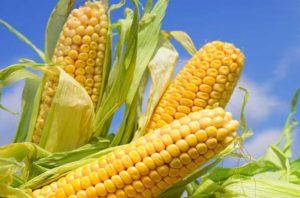 budidaya tanaman jagung