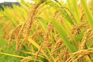 budidaya tanaman padi