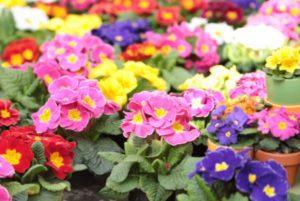 tanaman florikultura