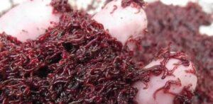 Makanan Anak Ikan Cupang Cacing Darah