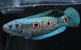 Inilah Fakta Ikan Gabus Hias Yang Cantik Dan Eksotik Dunia Fauna Hewan Binatang Tumbuhan