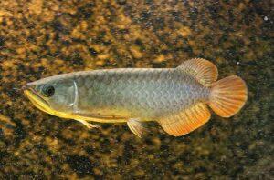 Ikan Arwana Banjar Red
