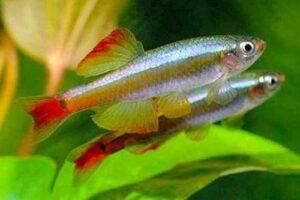 Ikan Minnow