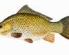 Ikan Tombro Umpan Jitu