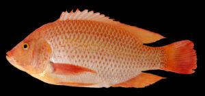 Umpan Ikan Nila Citralada