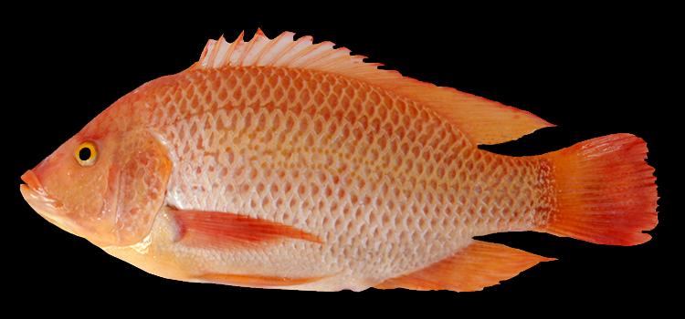 Mengenal Jenis Dan Umpan Ikan Nila Paling Ampuh Dunia Fauna Hewan Binatang Tumbuhan