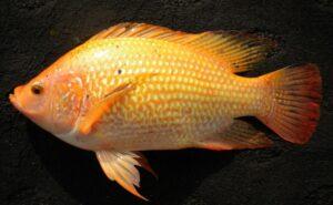 Umpan Ikan Nila Nifi