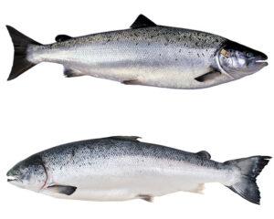 Ikan Salmon Atlantik