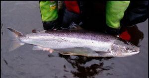 Ikan Salmon Pink