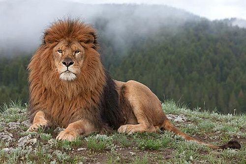 Gambar Singa Barbary