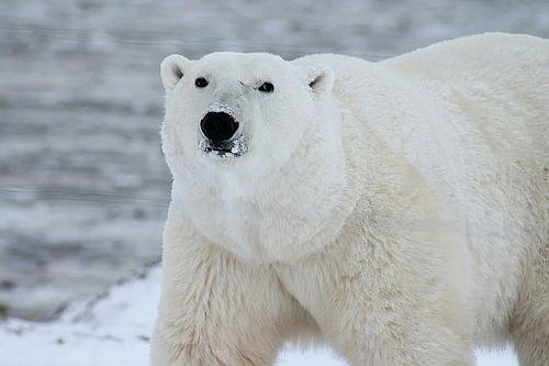 Beruang kutub2