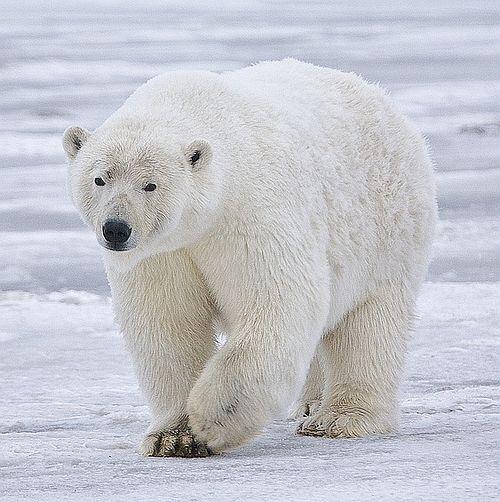 Beruang kutub4