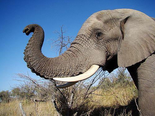 Foto Gajah