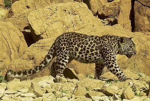 Foto Macan Tutul Arab
