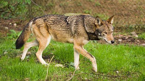 Foto serigala merah