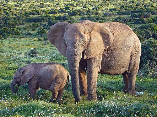 Gajah semak Afrika