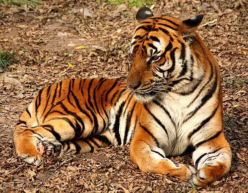 Gambar Harimau China Selatan