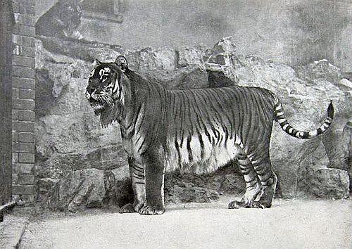 Gambar Harimau Kaspia