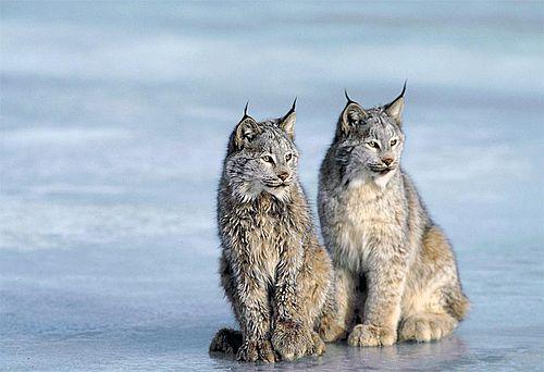 Gambar Lynx Kanada