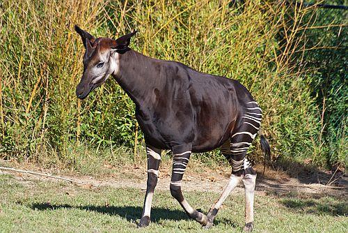 Gambar okapi