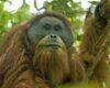 Gambar Orangutan Tapanuli