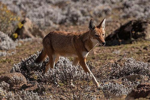 Gambar Serigala Ethiopia