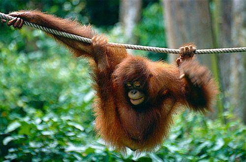 Gambar orangutan1
