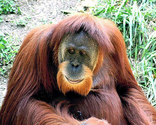 Gambar orangutan2