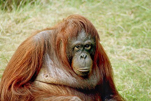 Gambar orangutan3