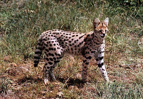 Gambar serval