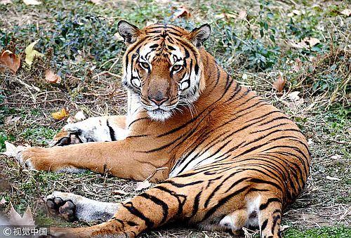 Harimau China Selatan