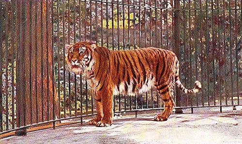 Harimau Kaspia