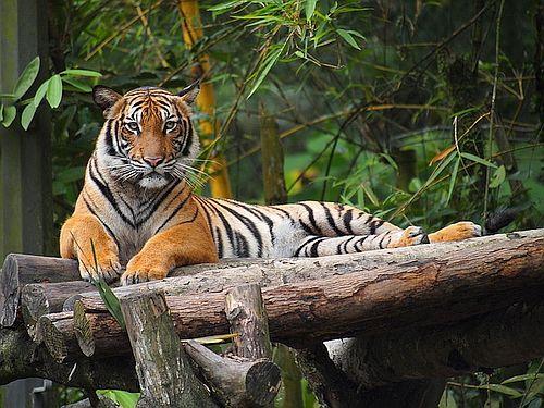 Harimau Malayan