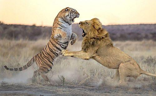 Harimau vs singa