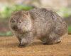 Hewan Wombat