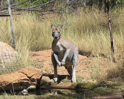 Kanguru Antilopine