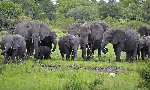 Kawanan Gajah