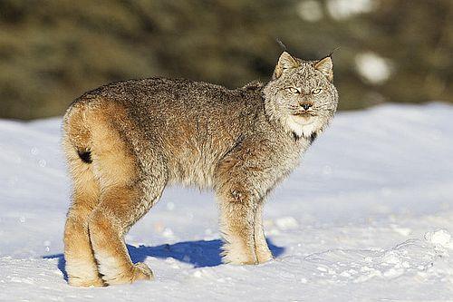 Lynx kanada